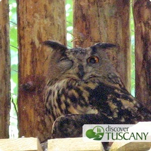 Eagle-Owl sleeps with one eye open and one closed