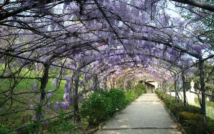 Wisteria Tunnel at Bardini Gardens