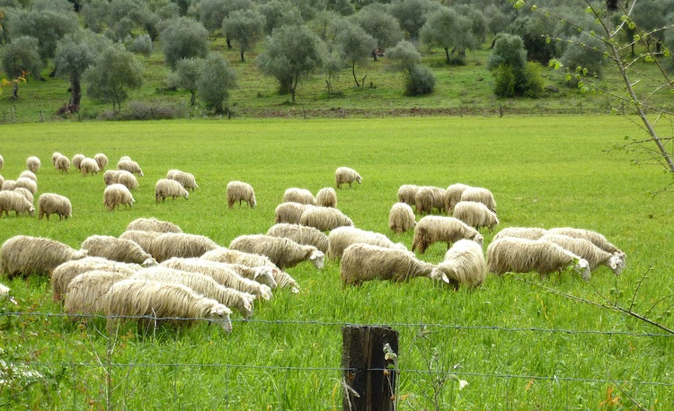 Sheep in the Maremma area in southern Tuscany
