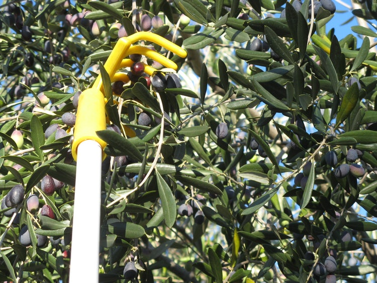 Picking olives, particular